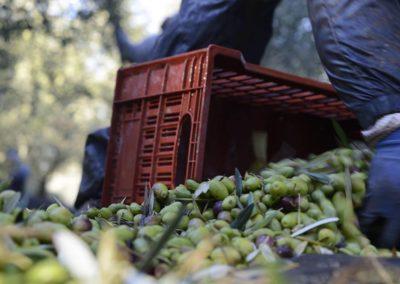 La récolte des olives au Mas des Vautes