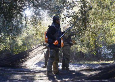 Récolte des olives au Mas des Vautes