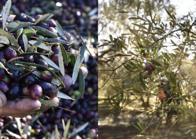 L'oliveraie du Mas des Vautes